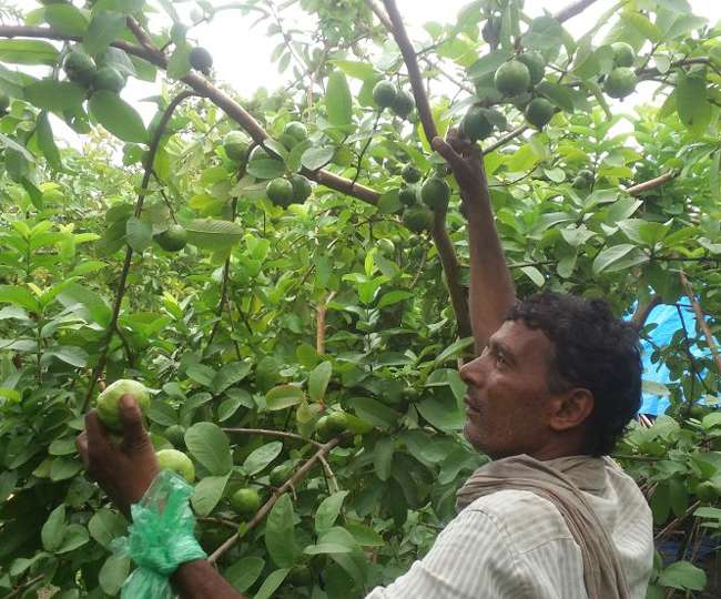 Farmer is selling guava at RS 500 per kg