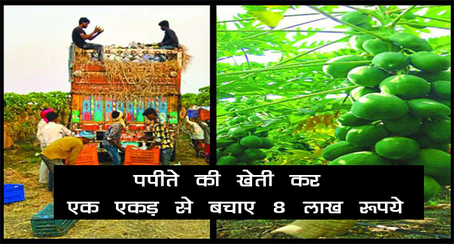 Eight lakhs rupees earned by papaya farming in Chhattisgarh