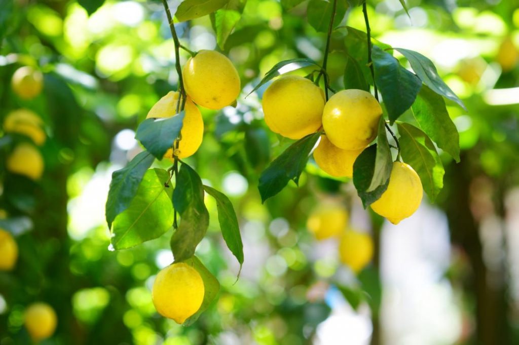 Farmers are earning millions by growing lemons