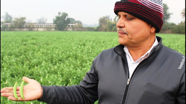 Peas and onion cultivation by organic farming in Delhi
