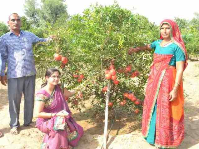 Santosh Devi earns RS 25 Lakh annually by cultivating pomegranate