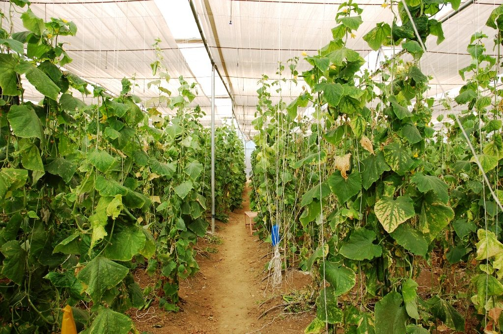 Lakhs of farmers earning profit by making italian cucumber grow