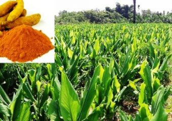 Farmers cultivation of turmeric is a new example of farming