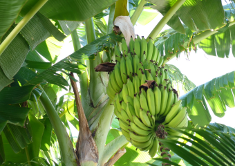 Scientist invent organic medicine for fungal treatment of banana tree in cihs department