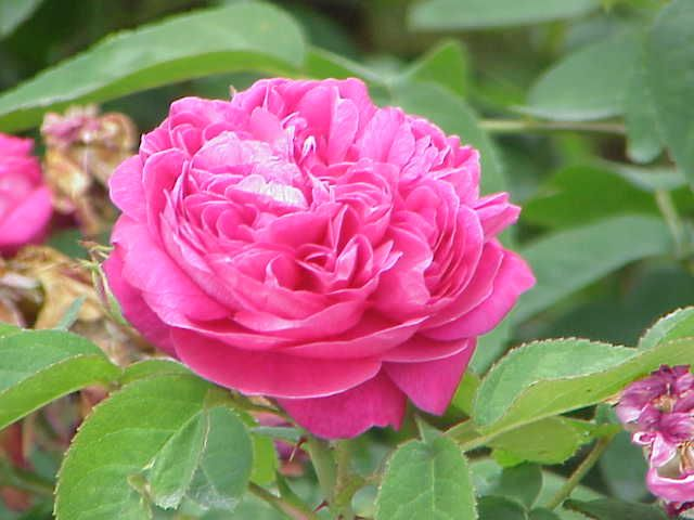 Damascus rose cultivation is becoming profitable for the farmer