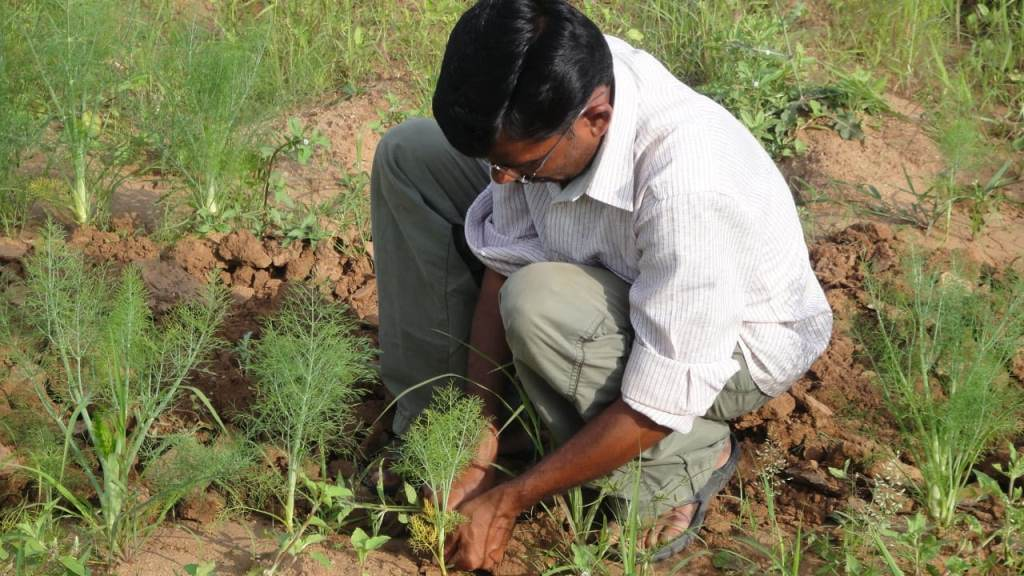 Ishaq Ali is the king of fennel cultivation