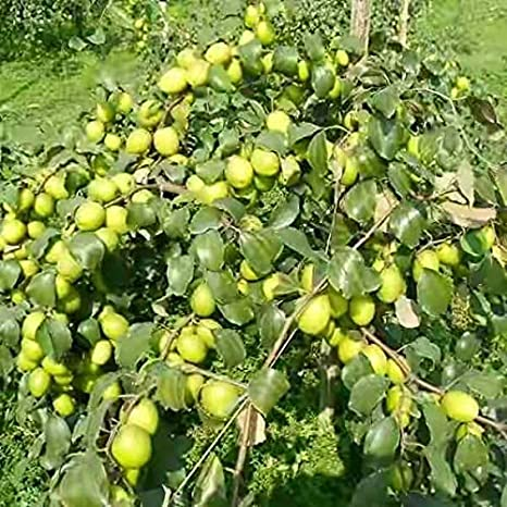 Farmer earning 45 lakh rupees a year from plum gardening