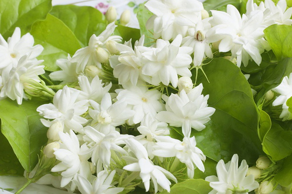 Santosh earns good profit by jasmine cultivation in Bihar