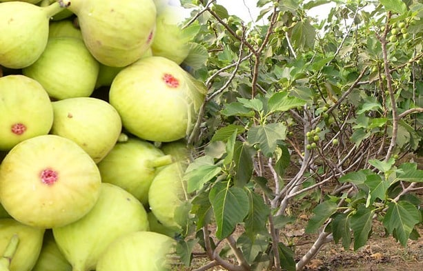 Sameer Dambe blessed with fig farming and processing today turnover of RS 15 crore