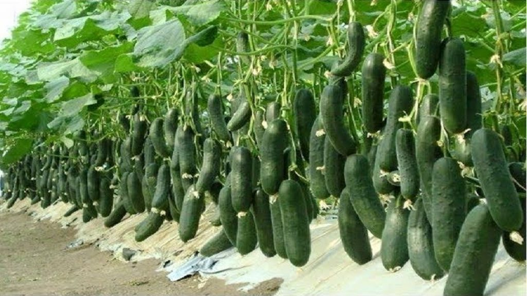Raghav Upadhaya earn good profit by Cucumber cultivation
